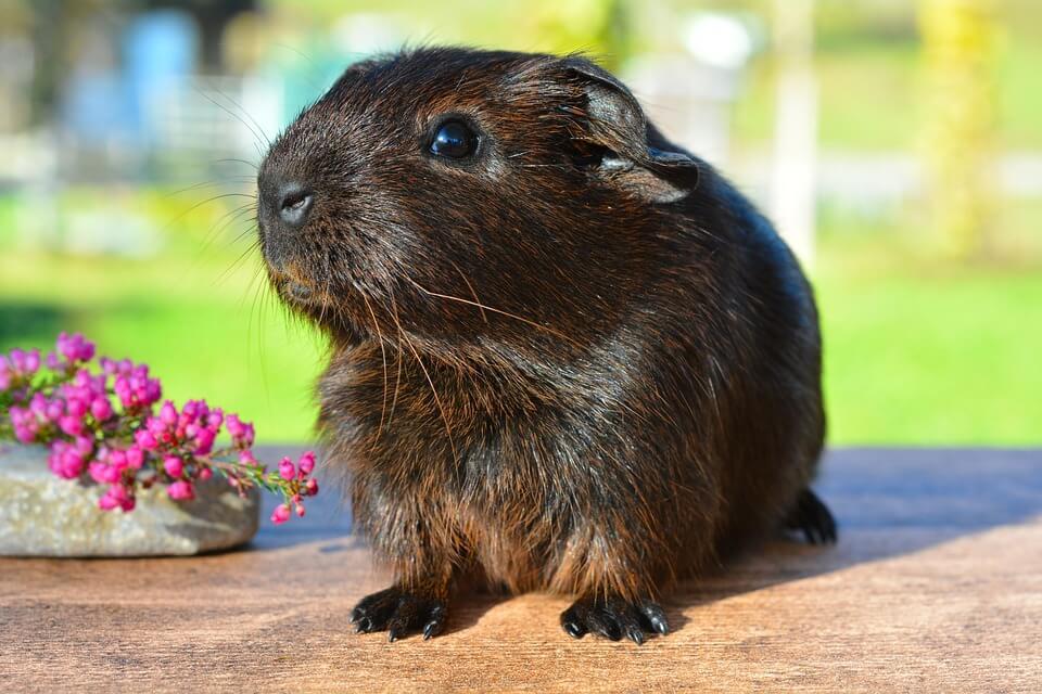 How to Bathe a Guinea Pig (Steps by Steps)