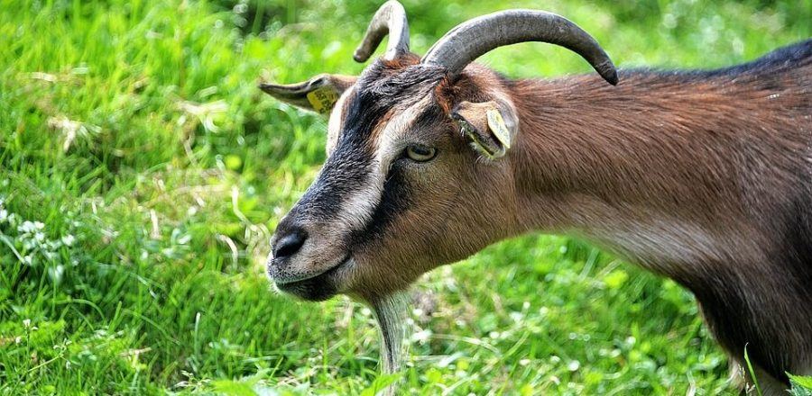 Raising Goats 101: Beginner Tips and Practices [2020]