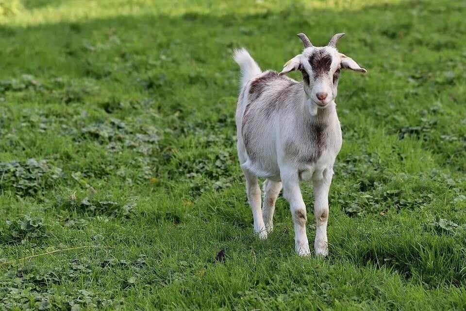 How Long Do Goats Live