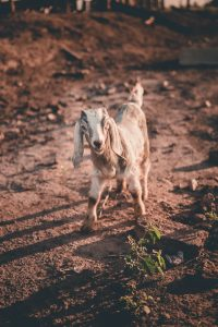 How Long Do Goats Live? Goat Longevity Explaine